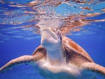 过来为空的游泳的乌龟有乌龟库拉索岛景色 免版税库存照片