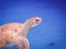 过来为空的游泳的乌龟有乌龟库拉索岛景色 库存照片