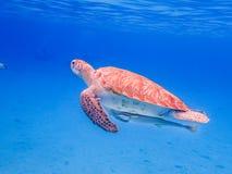 过来潜航与乌龟和ramora的空气的 图库摄影