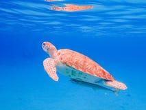 过来潜航与乌龟和ramora的空气的 库存照片