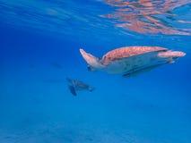 过来潜航与乌龟和ramora的空气的 库存图片