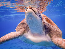 过来空的游泳的有乌龟库拉索岛景色 免版税库存照片