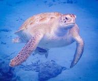 过来空的游泳的有乌龟库拉索岛景色 库存图片