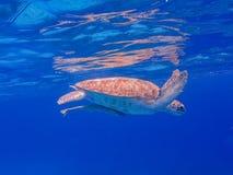 过来空的游泳的有乌龟库拉索岛景色 库存照片