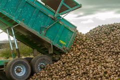 过程中甜菜的收获-卸载甜菜的拖车 图库摄影