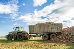 过程中甜菜的收获-拖拉机和拖车卸载甜菜 免版税库存图片