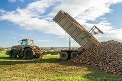 过程中甜菜的收获-拖拉机和拖车卸载甜菜 库存图片