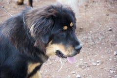 过量分泌唾液的流口水的狗 免版税库存照片