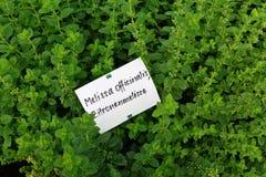 迈利萨角officinalis在庭院里 免版税库存照片