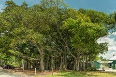 迈尔斯堡,佛罗里达- 2015年5月02日:爱迪生和福特冬天庄园公园树 巨型树在迈尔斯堡,佛罗里达 库存图片