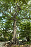 迈尔斯堡,佛罗里达- 2015年5月02日:爱迪生和福特冬天庄园公园树 免版税库存图片