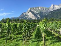 迈恩费尔德Graubuenden瑞士葡萄园夏天 库存照片