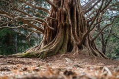年迈的树基地 库存图片