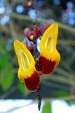 迈索尔trumpetvine或印地安时钟vineï ¼ ŒThunbergia mysorensis 免版税库存图片