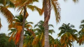 迈阿密棕榈树 股票录像