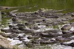 迈阿密,佛罗里达,美国-沼泽地鳄鱼农场 免版税库存图片