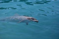 迈阿密,佛罗里达-美国- 2016年1月08日:与海豚的游泳 库存图片