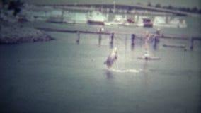 迈阿密,美国-1951 :跳跃在表现的一只训练的海豚 影视素材