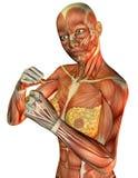 运动女性肌肉躯干 免版税库存图片