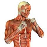 运动男性肌肉躯干 库存图片