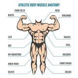 运动身体人形象肌肉解剖学 库存照片
