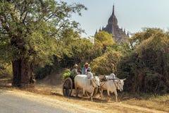 运在多灰尘的路的黄牛推车缅甸家庭在Bagan,缅甸 库存图片