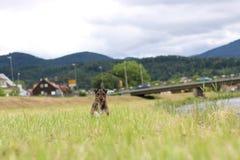 运行与球的狗 免版税图库摄影