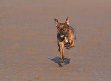运行今后在海滩的布朗狗 免版税图库摄影