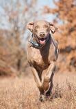 运行在干草的Weimaraner狗 免版税库存照片