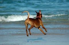 运行在海滩的狗 免版税库存照片