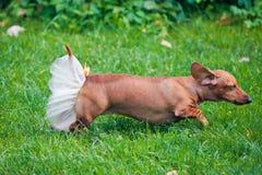 运行在草坪的狗裙子 库存照片