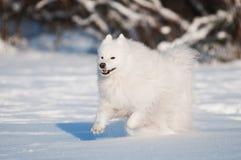 运行在雪的萨莫耶特人狗 免版税库存照片
