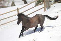 运行在雪的蓝色软羊皮的短距离冲刺的马。 免版税库存照片