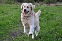 运行往照相机的金毛猎犬 免版税图库摄影