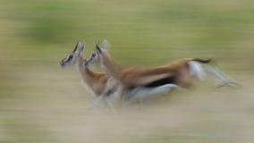 运行的汤普森的瞪羚 免版税图库摄影