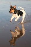 运行罗素水的狗插孔 图库摄影