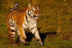 运行西伯利亚老虎 免版税库存图片