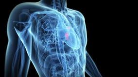运转的心脏瓣膜 皇族释放例证