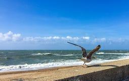 运载一个海星的走的海鸥在波尔图,葡萄牙 库存图片