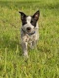 运载一根小棍子的得克萨斯Heeler小狗 图库摄影