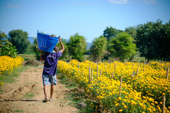运载与里面婴孩的一个人一个篮子与万寿菊开花农场 免版税图库摄影