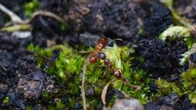 运载另一只蚂蚁的红色蚂蚁 免版税图库摄影