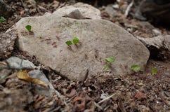 运载叶子的蚂蚁 库存照片