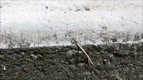 运载在垂直的墙壁上的蚂蚁大重量 免版税库存图片