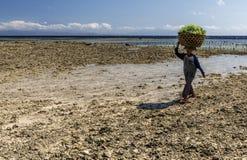 运载在她的头的印度尼西亚夫人农夫收集的海草从海到她的烘干的房子,努沙Penida,印度尼西亚 免版税库存照片