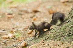 运载坚果的红松鼠 库存图片