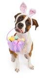 运载复活节篮子的拳击手狗 库存照片
