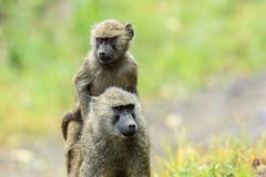运载她的年轻一肩扛的一个橄榄色的狒狒 免版税库存照片