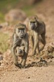运载它的Cub的橄榄色的狒狒 免版税图库摄影