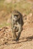 运载它的Cub的橄榄色的狒狒 免版税库存图片